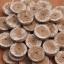 พีทมอสก้อนเพาะเมล็ด - Jiffy Peat Pellet thumbnail 3