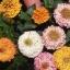 บานชื่นเปปเปอร์มินท์สติ๊กคละสี - Mixed Peppermint Stick Zinnia thumbnail 2