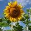 ทานตะวันเกรย์สตริป - Grey Strip Sunflower thumbnail 2