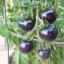 มะเขือเทศอินดิโกโรส - Indigo Rose Tomato thumbnail 1