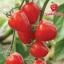 มะเขือเทศหัวใจ - Tomatoberry thumbnail 3