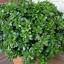 ต้นคลาสซูล่า - Jade Plant (Crassula ovata) thumbnail 4