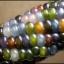ข้าวโพดอัญมณี - Glass Gem Corn thumbnail 1