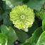 บานชื่นสีเขียว - Envy Zinnia thumbnail 1