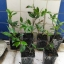 ต้นกระวาน - Bay leaf (Laurus nobilis) thumbnail 4