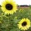 ทานตะวันเลม่อนควีน - Lemon Queen Sunflower thumbnail 2
