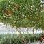 มะเขือเทศต้นอิตาลีทริปแอลครอป - Trip L Crop Tomato thumbnail 2