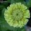 บานชื่นสีเขียว - Envy Zinnia thumbnail 2