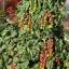 มะเขือเทศชูการ์กลอส F1 - Sugar gloss F1 Tomato (หวานมาก 12 Brix) thumbnail 2