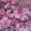 ด๊อกวู๊ดสีชมพู - Pink Dogwood Tree thumbnail 1