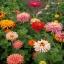 บานชื่นแคคตัสคละสี - Mixed Cactus Zinnia thumbnail 3