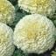 ดาวเรืองสีขาว - White African Marigold thumbnail 4