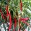 พริกคาเยนผลยาวสีแดง - Long Red Cayenne Pepper thumbnail 3