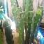 กิ่งแก้วมังกรเวียดนามสีเหลือง - Hylocereus megalanthus thumbnail 7