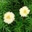 ดาวเรืองสีขาว - White African Marigold thumbnail 2