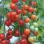 มะเขือเทศสวีทแอพเพอริทิพ - Sweet Aperitif Tomato (หวานมาก 13 Brix) thumbnail 3