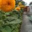 ทานตะวันซันโกลด์ - Sungold Sunflower thumbnail 2