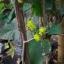 ต้นหม่อนทานผล (สายพันธุ์นำเข้า) - Mulberry thumbnail 3