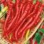 พริกไซฮาเรลล่าสีแดง - Syharella Red Pepper ซองดั้งเดิม thumbnail 2