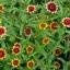 บานชื่นพรมเปอร์เซียคละสี - Mixed Persian Carpet Zinnia thumbnail 2