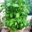 โหระพาอิตาลีใบใหญ่ - Large Leaf Italian Basil thumbnail 3