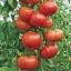 มะเขือเทศต้นอิตาลีทริปแอลครอป - Trip L Crop Tomato thumbnail 3
