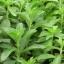 หญ้าหวาน - Stevia thumbnail 2