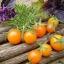 มะเขือเทศซันโกลด์ F1 - Sun Gold F1 Tomato (หวานมาก 11 Brix) thumbnail 2
