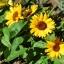 ทานตะวันบิ๊กสมายด์ - Big Smile Sunflower (พันธุ์แคระ) thumbnail 2