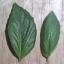 โหระพาอิตาลีใบใหญ่ - Large Leaf Italian Basil thumbnail 4