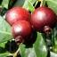 ฝรั่งสตรอเบอรี่สีแดง - Red Strawberry Guava thumbnail 2