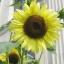 ทานตะวันเลม่อนควีน - Lemon Queen Sunflower thumbnail 1