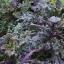 เคลลาซินาโต้เรนโบว์ - Lacinato Rainbow Kale thumbnail 2