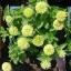 บานชื่นสีเขียว - Envy Zinnia thumbnail 3