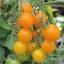 มะเขือเทศซันโกลด์ F1 - Sun Gold F1 Tomato (หวานมาก 11 Brix) thumbnail 1