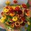 บานชื่นพรมเปอร์เซียคละสี - Mixed Persian Carpet Zinnia thumbnail 1
