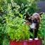 แคทนิป - Catnip thumbnail 1