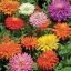 บานชื่นแคคตัสคละสี - Mixed Cactus Zinnia thumbnail 2