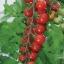 มะเขือเทศสวีทแอพเพอริทิพ - Sweet Aperitif Tomato (หวานมาก 13 Brix) thumbnail 1