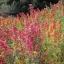 ควินัวคละสี - Mixed Quinoa thumbnail 2