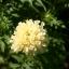 ดาวเรืองสีขาว - White African Marigold thumbnail 1