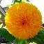 ทานตะวันซันโกลด์ - Sungold Sunflower thumbnail 1