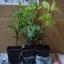 ต้นกระวาน - Bay leaf (Laurus nobilis) thumbnail 3