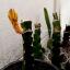 กิ่งแก้วมังกรเวียดนามสีเหลือง - Hylocereus megalanthus thumbnail 6