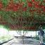 มะเขือเทศต้นอิตาลีทริปแอลครอป - Trip L Crop Tomato thumbnail 1