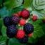 ราสพ์เบอรี่สีดำ - Black Raspberry thumbnail 1