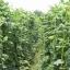 ถั่วฝักยาว - Yard Long Bean (1-1.2 เมตร) thumbnail 1