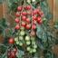 มะเขือเทศชูการ์กลอส F1 - Sugar gloss F1 Tomato (หวานมาก 12 Brix) thumbnail 1