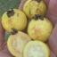 ฝรั่งสตรอเบอรี่สีเหลือง - Yellow Strawberry Guava thumbnail 1