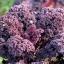 เคลใบหยิกสีแดง - Scarlet Curly Kale thumbnail 2